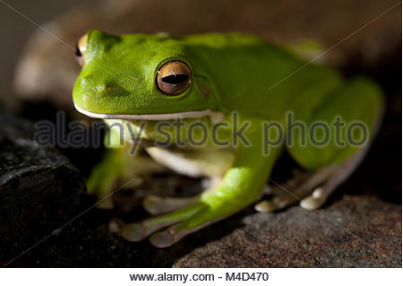 Green tree frog sitting on a stone - Stock Photo