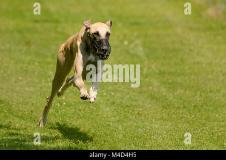 Whippet running - Stock Photo