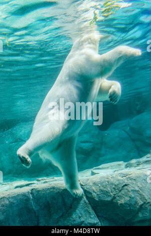 Polar Bear (Also known as Thalarctos Maritimus - Stock Photo