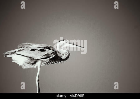 A grey heron standing stoically against a clear blue sky in black and white. - Stock Photo