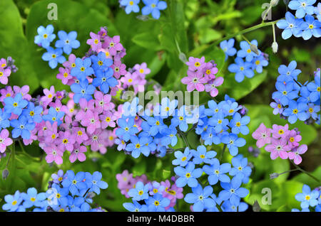 Pink and blue  Forget-me-not flowers close up - Stock Photo