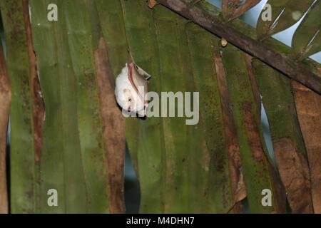 Honduran white bat hanging in a Palm branch - Stock Photo