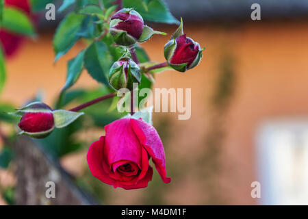 Bud of a blossoming rose on a blurred background - Stock Photo