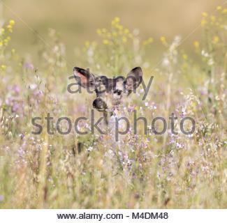 Black-tailed Deer (Odocoileus hemionus) peeking through Spring flowers. - Stock Photo