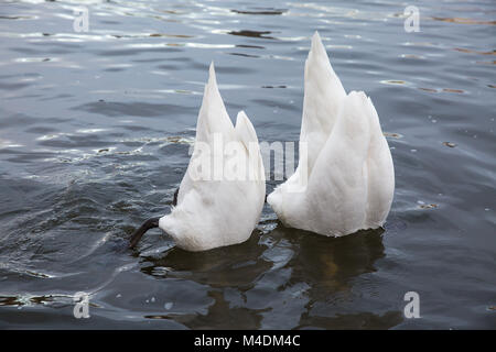 Two swans feed - Stock Photo