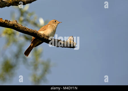 nightingale on a branch - Stock Photo