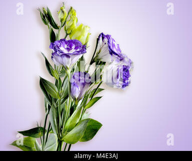 Bouquet of Eustoma flowers isolated on a tender lilac background - Stock Photo