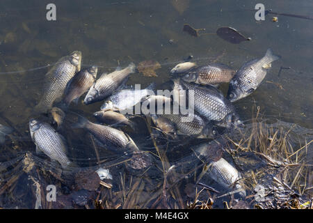 Dead fish floating on the edge of the pond - Stock Photo
