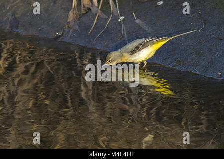 Grey wagtail (Motacilla cinerea) - Stock Photo