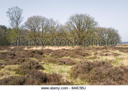 Heathland with oak trees. - Stock Photo