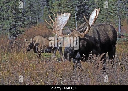bull Moose and female in the rut - Stock Photo