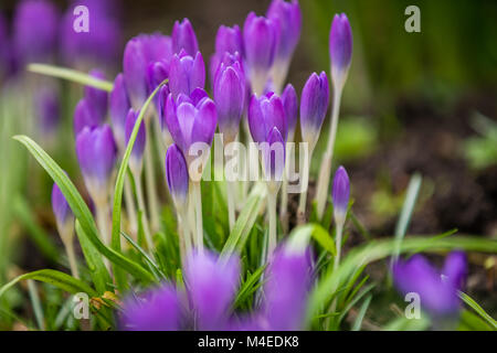 Purple Crocus and Snowdrops - Stock Photo