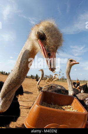 Ostrich eating grains on a farm - Stock Photo