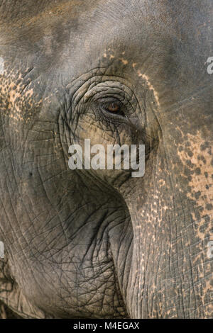 A close up photo of a elephants eye, eyelashes, wrinkles and face. Taken in Jaldapara National Park in North East - Stock Photo