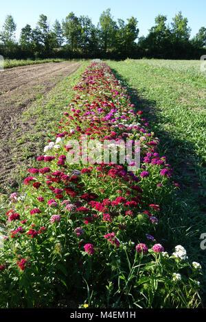 Dianthus barbatus, sweet william - Stock Photo