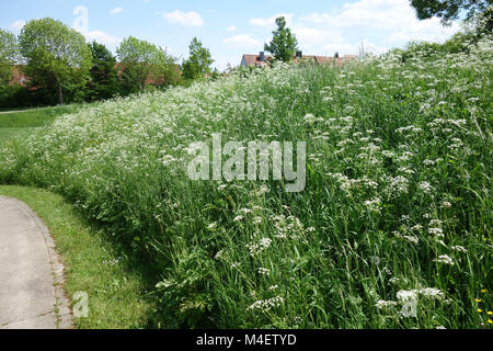 Anthriscus sylvestris, Cow Parsley - Stock Photo