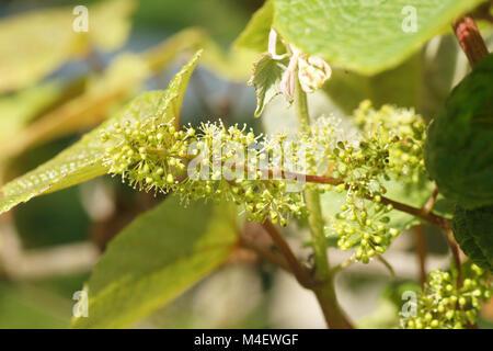 Vitis riparia, River Bank Grape, Blossom - Stock Photo