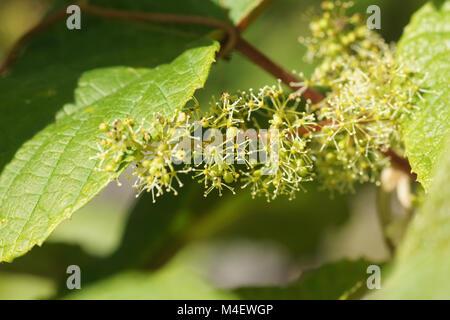 Vitis riparia, River Bank Grape, Blüten, Blossom - Stock Photo
