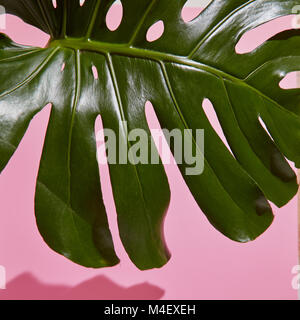 Leaf Monstera on pink background - Stock Photo