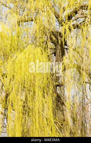 Weeping willow Salix alba var. tristis - Stock Photo