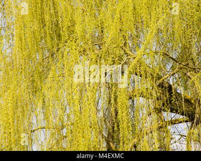 Weeping willow Salix alba tristis - Stock Photo