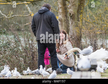 Feeding food to swans in the UK. - Stock Photo