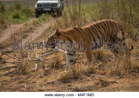 Bengal tiger walking in front of jeep - Stock Photo
