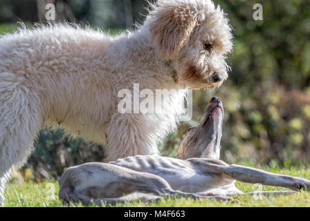 Whippet and Cockerpoo puppies. - Stock Photo