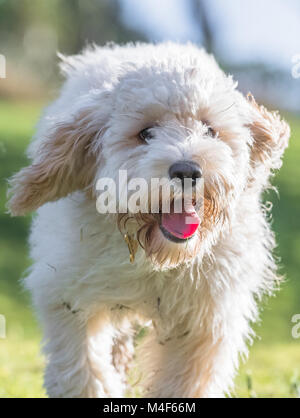 Young Cockerpoo puppy playing. - Stock Photo