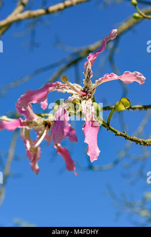 Pink and white kapok flower - Stock Photo