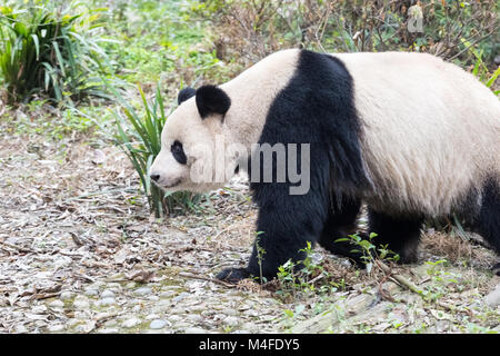 giant panda closeup - Stock Photo
