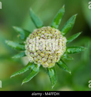 A macro shot of a scabious flower bud. - Stock Photo