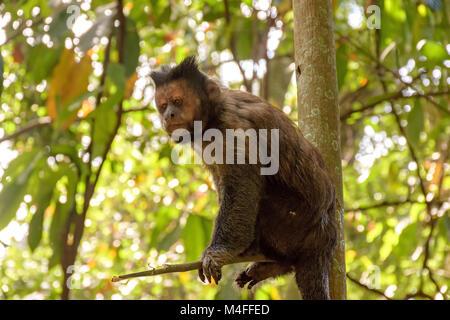 Black capuchin monkey - Stock Photo