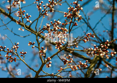 Background with beautiful white cherry buds on spring - Stock Photo