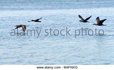 Four Little Black Cormorants(Phalacrocorax sulcirostris), fly close to the water - heading downstream above the - Stock Photo