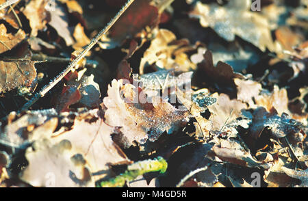 frozen autumn leaves on the ground in winter - Stock Photo