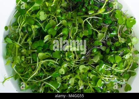 micro salat from sprouts of radish and arugula in water - Stock Photo