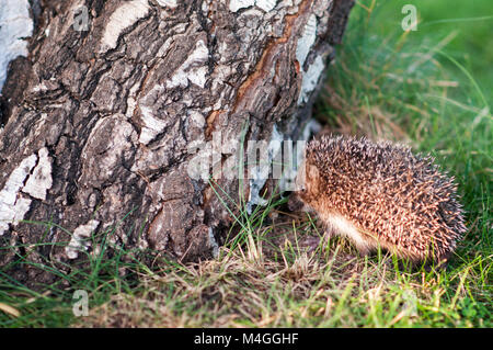 Small hedgehog near the birch log in the grass - Stock Photo