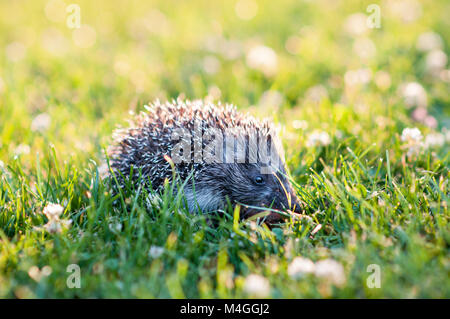 Small grey hedgehog walking in the grass - Stock Photo