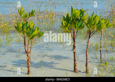 Mangroves growing on Tampa Bay, Florida - Stock Photo