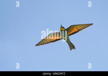 bee-eater in flight - Stock Photo