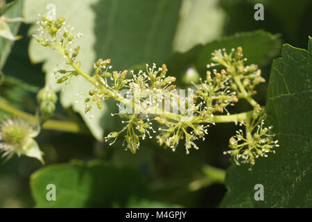 Vitis labrusca, fox grape, blossoms - Stock Photo