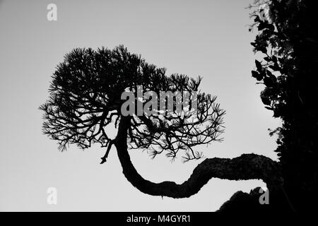 The tree of life is a Bonsai growing sideways, in the Botanical Gardens of Madrid - Stock Photo