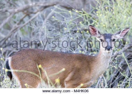 Young Black-tailed Deer (Odocoileus hemionus) Eating. - Stock Photo