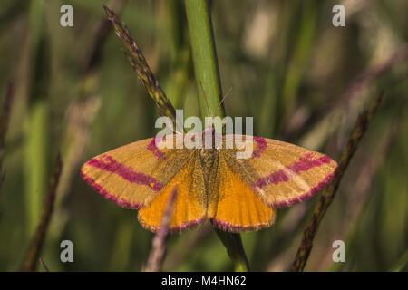 Purple-barred yellow (Lythria cruentaria) - Stock Photo