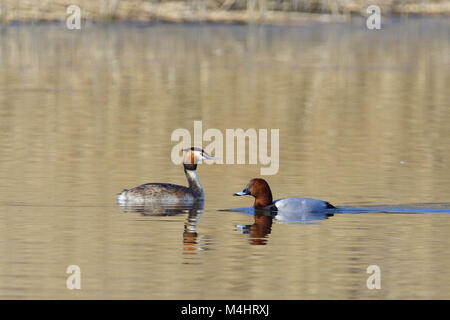 Male Common pochard and great crested grebe - Stock Photo