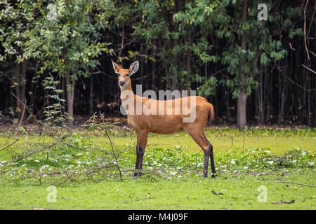 Marsh deer in the swamp, Pantanal, Brazil - Stock Photo