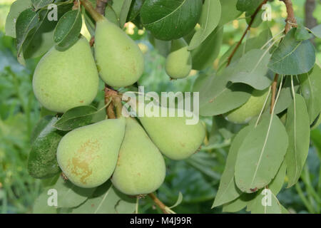 closeup of unripe pears yet on the tree - Stock Photo