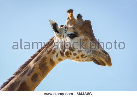 Close-up of head of giraffe looking down - Stock Photo