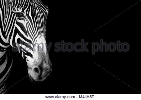 Close-up of Grevy zebra head in mono - Stock Photo